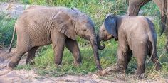 """""""Trunk Wrestle - Two Baby Ellies in the Kruger National Park having a bit of a wrestle, these little guys were great fun to watch until Mom decided it was time to go and they sprinted after her ears out and tails held high!"""" Photographer : Andrew Schoeman"""