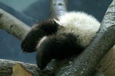 panda 'tocks