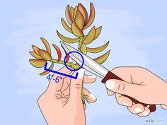 Bildtitel Propagate Succulent Plant Cuttings Step 5