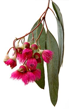 Eucalyptus flowers | How gorgeous is that fuchsia color? #fuchsia #pods #ihavethisthingwithflowers