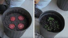 Des tomates trop mûres dans le réfrigérateur ? Ne jetez pas ! Et si on fait plutôt pousser des plants de tomate ? Voici une méthode simple.