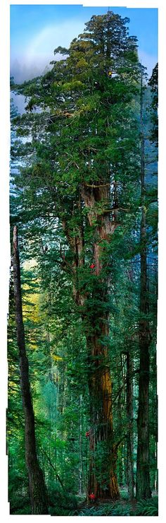 giant sequoia tree - see the person on the bottom?