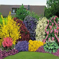 3 Alyssum saxatile citrinum; 30 Anemone Blanda Mix bulbs; 1 Astilbe arendsii Pink; 1 Buddleia davidii pink; 3 Campanula Blue Clips; 1 Ceanothus Yankee Point; 1 Forsythia Spectabilis; 1 Hosta sieboldii; 3 Saponaria ocymoides; 1 Spirea arguta; 1 Weigelia Bristol Ruby. Fragrant cutflowers from March until September, Hardy, Evergreen, Prefers well drained soil and a sunny position (40 perennials and 5 flowering shrubs)