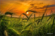 Sunset Over Wheat Field 2d by Dragan Milovanovic on 500px