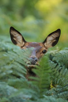 Deer in hiding