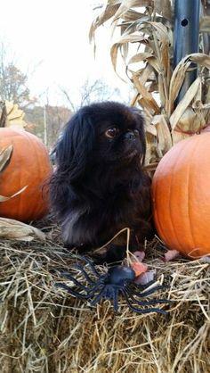 My beautiful Angel Yorkies, Pekingese Puppies, Animals And Pets, Baby Animals, Cute Animals, Spaniel Breeds, Dog Breeds, Fu Dog, Dog Cat