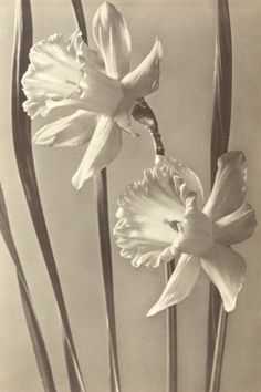 Two narcissi, c. 1950 - Photograph by Max Baur (German, 1898-1988)