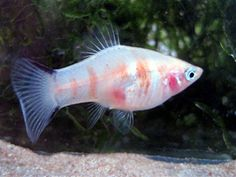 bleeding heart platies fish - Google Search