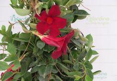 Dipladenia Sanderi var. sundaville (Mandevilla spp.)   Il Giardino delle meraviglie