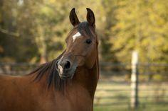 MH Roxy Hart (Thee Asil x MB Minuet) 2003 bay SE mare bred by Meierotto Arabians, Wisconsin - Strain: Dahmah Shahwaniyah ~ Tail Female: El Dahma