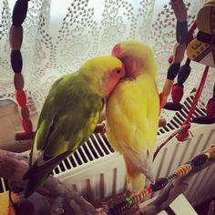 Uykusunu alamayanlar. 💤 💚Tomris & Oburiks 💛  #Tomris #Oburiks #TomrisOburiks #sevdapapağanı #cennetpapağanı #forpus #agapornis #petphotography #animalsofinstagram #birdsofinstagram #agapornisofinstagram #lovebirdsofinstagram  #lovebird #instabird #birdlovers #petbird #parrot #parekeet