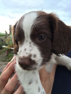 Springer Spaniel Puppy - Freckles