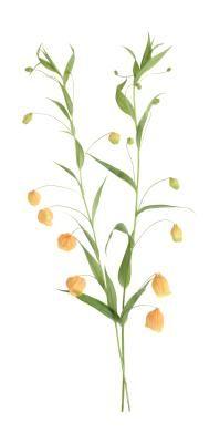 A Physalis alkekengi é popularmente chamada de lanterna chinesa. Essa planta perene alcança de 40 a 60 cm de altura. As flores surgem na primavera e no verão a partir do segundo ...