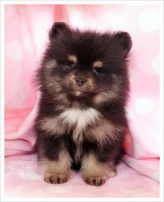 Teacup Pomeranian. Yesterday, I told my mom that one of the 1st things I will do when I live on my own is buy a little puppy. :)