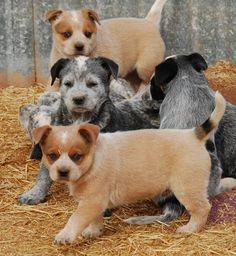 Red Australian Cattle Dog Puppies Photos