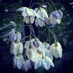 Flowering vine #garden #gardenersnotebook #flowers #plants #vine #nature