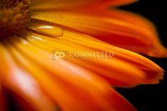 Made to Measure Fine Art. Photographer: Matthew Hart  Title: Calendula  Description: Calendula Orange on black with water droplet.