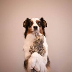 As you can see, Cohen uses both paws to hold the item above the ground. This is your eventual goal. Image source: Jessica Bell