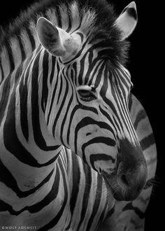 Zebra portrait ~ By Wolf Ademeit | 500px