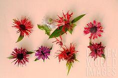 Monarda cultivars (clockwise from Top L): 'Cambridge Scarlet', 'Snow', 'Gardenview Scarlet', 'Duddiscombe', 'Gewitterwolke' (aka 'Storm Cloud'), 'Squaw', 'Prairienacht' (aka 'Prairie Night'), and 'Mahogany'
