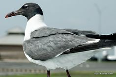 Southeast Texas Daily Photos: Laughing Gull gets the last laugh (and bravado)