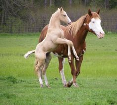 palomino paint foals - Google Search