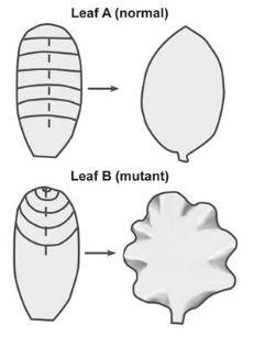 편평한 식물 잎에 숨어있는 놀라운 설계 (Flat leaves—a curly problem) [한국창조과학회]