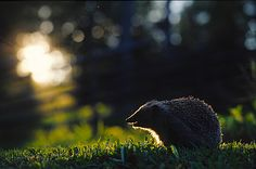 Hedgehogs are seen quite often in Kainuu, although the species is rare in whole country. Our Country, Hedgehogs, Squirrels, Black Bear, My Animal, Nature Photos, Funny Cute, Finland, Famous People