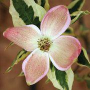 Stellar Pink® Variegated Dogwood