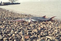 The Chinese paddlefish, one of world's largest fish, has gone extinct. Native to China's Yangtze River, these fish grew 23 feet in length, but haven't been spotted since Panthera Pardus Orientalis, Dam Construction, Giant Fish, Remo, Unusual Animals, Wildlife Conservation, Has Gone, Freshwater Fish, Endangered Species