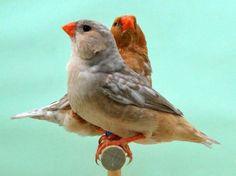 Male & Female orange breasted