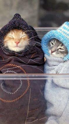 """""""Qué a gusto se está tapado"""" :)  #Gatos abrigados con #ropa en invierno.  Productos originales y de calidad para vuestros gatos en http://perroverdeygatonegro.com/8-gatos"""