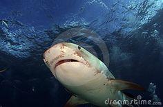 Tiger Shark  Photo by Greg Amptman