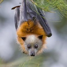 darling little flying fox bat.