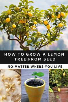Wie man einen Zitronenbaum aus Samen wächst, egal wo man lebt – Galvanize gre How to grow a lemon tree from seeds, no matter where you live – Galvanize gre … How to make a lemon Home Vegetable Garden, Fruit Garden, Garden Plants, Indoor Plants, Edible Garden, Edible Plants, Veggie Gardens, Shade Garden, Garden Hose