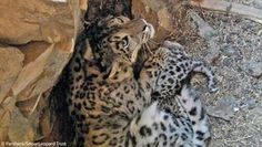 First ever videos of snow leopard mother and cubs in dens recorded in Mongolia    Link to the Video  http://www.panthera.org/programs/snow-leopard/videos-snow-leopard-mother-and-cubs-dens-recorded-mongolia