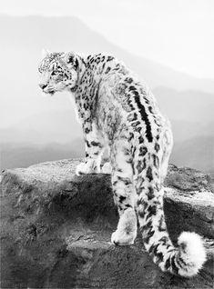 felidae • panthera uncia leopard des neiges animal félin via pinterest.com