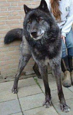 Wolf!?
