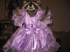 pretty princess raccoon