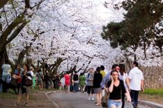 Ohanami at High Park