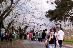 Ohanami at High Park