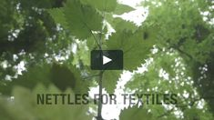 Allan Brown demonstrates the processes he takes nettle plants through, in order to extract a usable fibre for textiles. 'Nettles For Textiles' was… Textiles, Herbs, Plants, Brown, Facebook, Diy, Bricolage, Herb, Flora