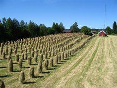 Hay on sticks in Pellesmäki, Kuopio, Finland.