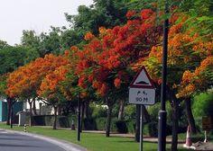 Harare Zimbabwe - Flamboyant Trees Pin repinned by Zimbabwe Artisan Alliance.