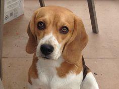 Molly the Beagle