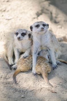 Baby Meerkats + Family