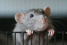 Rats are just so stinking cute once you give them a chance