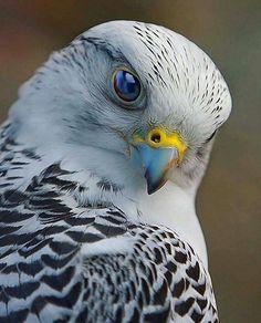 "- Wildlife Animal 📷 (@wildlifeonearth) on Instagram: ""Falcon - Photography by ©Scott McDaniel  #wildlifeonearth"""