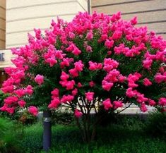 Garden S, Balcony Garden, Dream Garden, Vegetable Garden, Garden Plants, Lagerstroemia Indica, Beautiful Butterflies, Beautiful Flowers, House Landscape