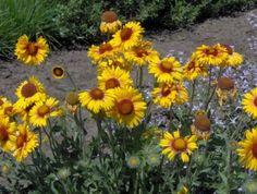 Alberta Native Plants-Bedrock Seed Bank Seed Bank, Native Plants, Yard Ideas, Pretty Flowers, Nativity, Seeds, Gardening, Fresh, Birthday